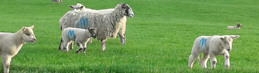 WoolWeek Sheep