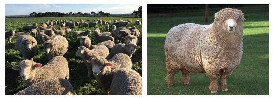 Know Your Sheep, Corriedale, Yarnadelic